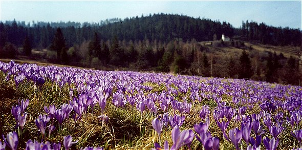 Crocus near Stoss hills